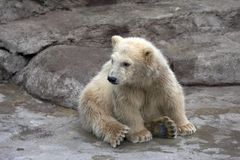 The small polar bear Royalty Free Stock Images