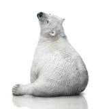 Small polar bear cub stock photos