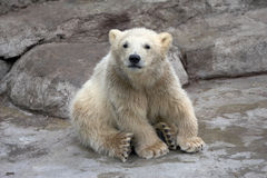 Small polar bear sits on stones Royalty Free Stock Images