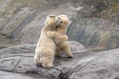Small polar bears  on stones Royalty Free Stock Photo