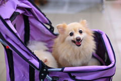 Small pomeranian dog Royalty Free Stock Photography