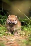Small Pomeranian puppy in grass Royalty Free Stock Photo