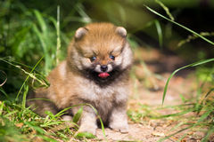Small Pomeranian puppy in grass Royalty Free Stock Image