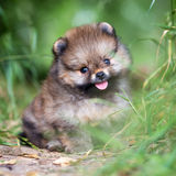 Small Pomeranian puppy in grass Royalty Free Stock Images
