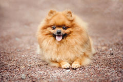 Small Pomeranian puppy lying Stock Photo
