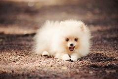 Small Pomeranian puppy lying Stock Photos