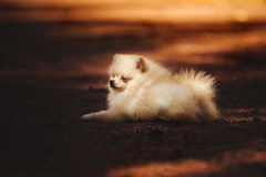 Small Pomeranian puppy lying. At sunset in summer Stock Image
