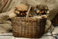 Small Pomeranian puppy sitting in a basket near gray plaid in the Studio. Little puppies Spitz sit and play in the basket near gray plaid in the Studio stock image