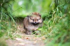 Small Pomeranian puppy Stock Photography