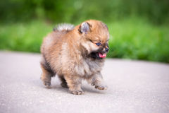 Small Pomeranian puppy walking Royalty Free Stock Photos