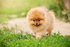 Small Pomeranian puppy walking Royalty Free Stock Photo
