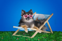 Small Pomeranian resting on the grass in the summer royalty free stock photo