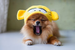 Small Pomeranian sitting in funny costumes Stock Photos