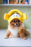 Small Pomeranian sitting in funny costumes Royalty Free Stock Image