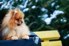 The dog breed pomeranian spitz. Small pomeranian spitz on a background of snow-covered green bush close-up stock image