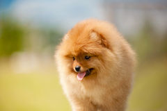Small Pomeranian Spitz puppy portrait Royalty Free Stock Images