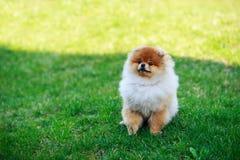 The dog breed pomeranian spitz. The small Pomeranian Spitz sitting on green grass royalty free stock photo