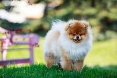 The dog breed pomeranian spitz. The small Pomeranian Spitz stand on green grass royalty free stock photography