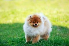 The dog breed pomeranian spitz. The small Pomeranian Spitz stand on green grass stock photos