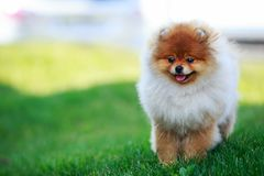 The dog breed pomeranian spitz. The small Pomeranian Spitz stand on green grass stock images