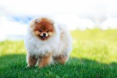 The dog breed pomeranian spitz. The small Pomeranian Spitz stand on green grass royalty free stock image