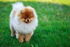 The dog breed pomeranian spitz. The small Pomeranian Spitz stand on green grass stock photography