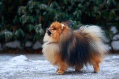 The dog breed pomeranian spitz. The small Pomeranian Spitz stands against a snowy bush stock photo