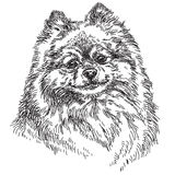 Small Pomeranian vector hand drawing illustration. In black and white Stock Image