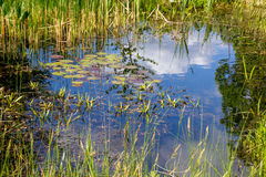 Small pond aquatic plants Stock Photo