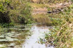 A small pond among green bushes. Savannah Masai Mara in Kenya. Africa stock photos