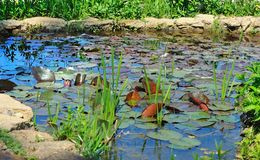Small pond with lily pads. Royalty Free Stock Photos