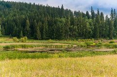 Small pond near pine forest,  grass on foreground with beautiful wild flowers. On cloudy summer day in Romania, Transylvania Royalty Free Stock Photo