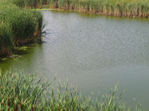 Small pond of water with bulrushes. stock photography