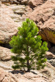 Small Ponderosa Pine at Turtle Rocks Colorado. Small young ponderosa pine tree grows from rocky plateau by Turtle Rocks near Buena Vista Colorado, famous for Royalty Free Stock Photos