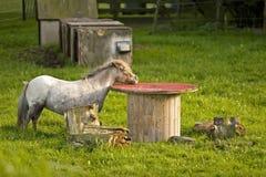 Small pony Stock Photography