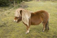 Small Pony Stock Photos