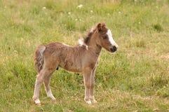 Free Small Pony Royalty Free Stock Photos - 94148158