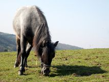 Small pony eating grass Stock Photography