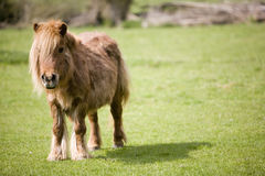 Small pony in field Royalty Free Stock Photos