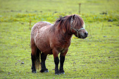 Small Pony In A Field. With Long Mane Covering Eyes Royalty Free Stock Images