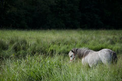 Small pony in a field near a forest. Royalty Free Stock Image