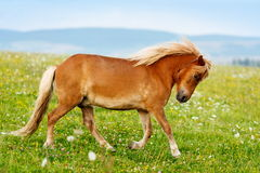 Small pony horse (Equus ferus caballus). Small pony horse running on the field (Equus ferus caballus Royalty Free Stock Images