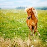 Small pony horse (Equus ferus caballus). Small pony horse running on the field (Equus ferus caballus Stock Image