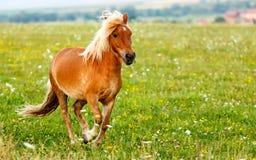Small pony horse (Equus ferus caballus). Small pony horse running on the field (Equus ferus caballus Royalty Free Stock Image