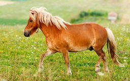 Small pony horse (Equus ferus caballus). Small pony horse walking on the field (Equus ferus caballus Royalty Free Stock Images