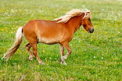 Small pony horse (Equus ferus caballus) Royalty Free Stock Photo