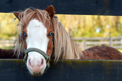 Small Pony horse portrait Stock Image