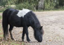 A small pony. On a rainy day in the New Forest, Hampshire UK Stock Photo