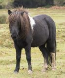 A small pony. On a rainy day in the New Forest, Hampshire, UK Stock Photos