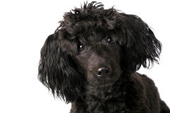 Small poodle Royalty Free Stock Photos